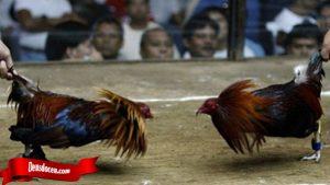 Arti Teknik Bongkar Dari Ayam Tarung Bangkok