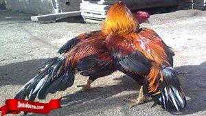 Tidak Sulit Ternak Ayam Tarung