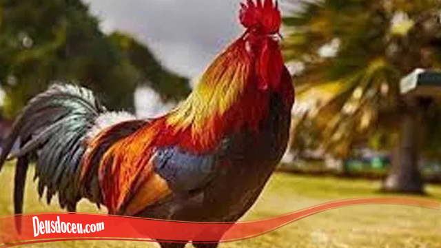Ketahui Bagaimana Untuk Melebatkan Bulu Ayam SV388
