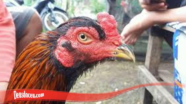Keuntungan Miliki Ayam Bangkok Brewok S128