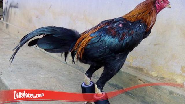 Bagaimana Trik Besarkan Otot Kaki Ayam SV388